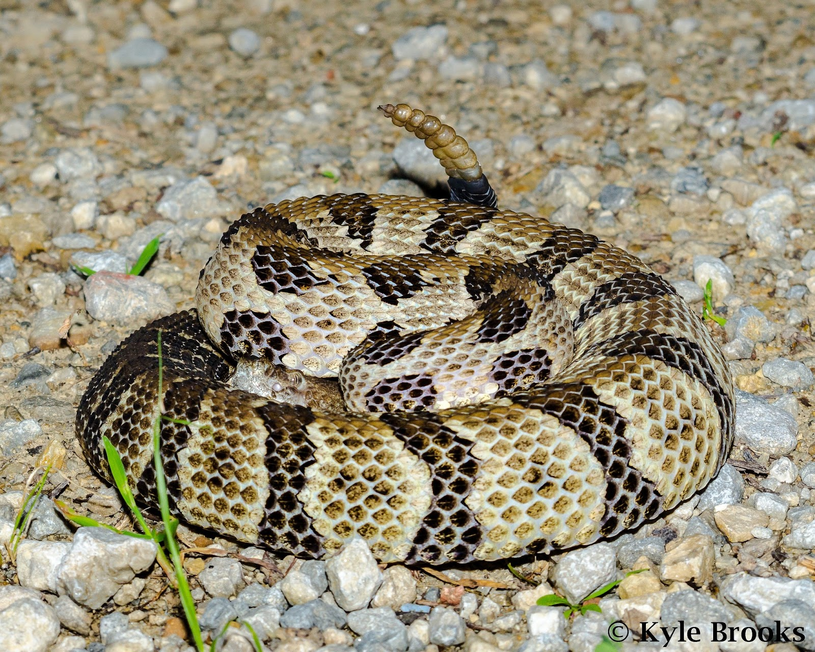 Timber Rattlesnake Ohio