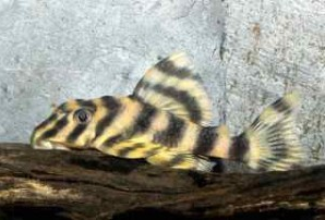 Ikan Sapu Sapu Candy Striped Pleco
