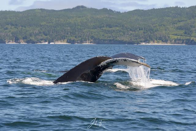 the guardian, quebec, canada, jérémie leblond-fontaine, baleine à bosse, gaspésie, fleuve st-laurent, orignal, orignaux, wildlife, faune sauvage, ours noir