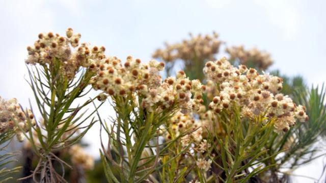Mengenal Bunga Edelweiss Lebih Jauh