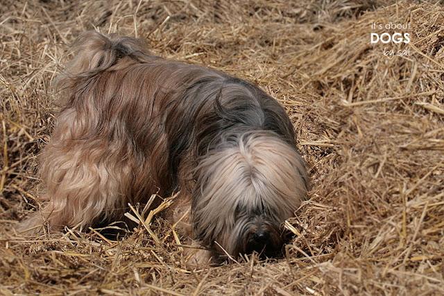 """Tibet Terrier Chiru auf """"Mäuse suche"""" im Stroh"""