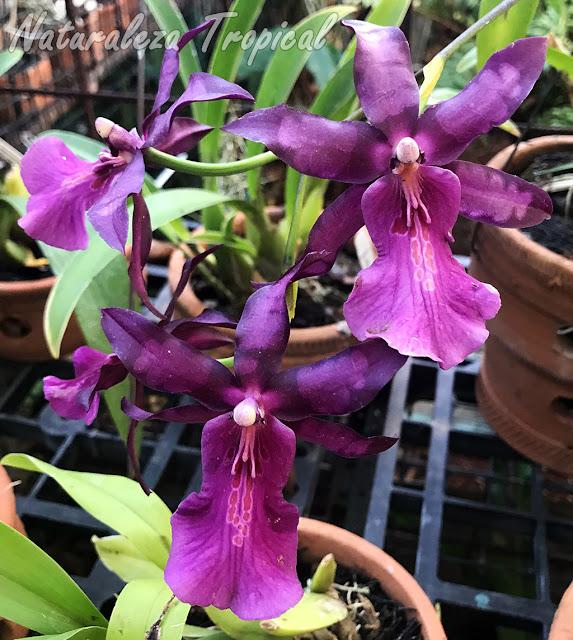 Floración de una majestuosa orquídea llamada Miltonia moreliana o Miltonia spectabilis var. moreliana. Las flores en esta orquídea son muy variables principalmente en los tonos violáceos de pétalos y sépalos.