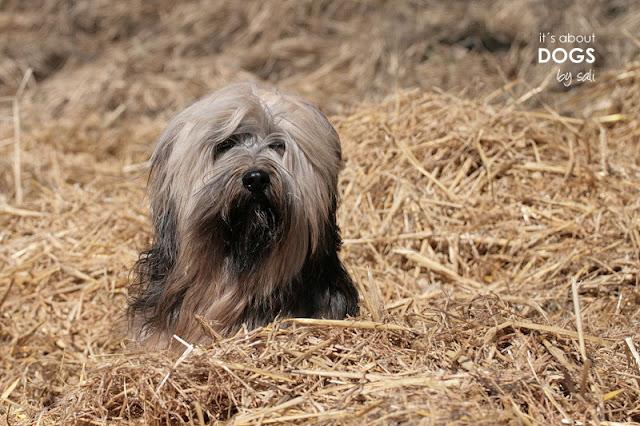 Tibet Terrier Chiru versinkt förmlich im Stroh