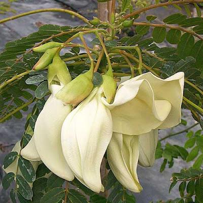 8 Khasiat Tanaman Bunga Turi untuk Kesehatan