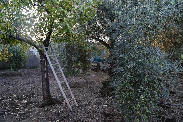 Olive tree, Catania, Sicily