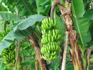 pohon-pisang-berbuah-lebat.jpg
