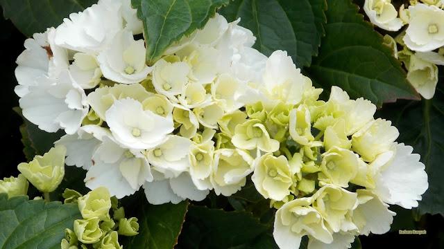 HD wallpaper witte hydrangea bloemen