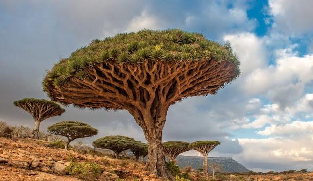ejderha-kanı-ağacı-nerede-bulunur