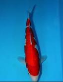 Jenis Ikan Koi Kohaku straight Hi kohaku