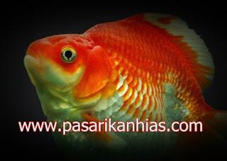 Ikan hias Mas Koki Mini