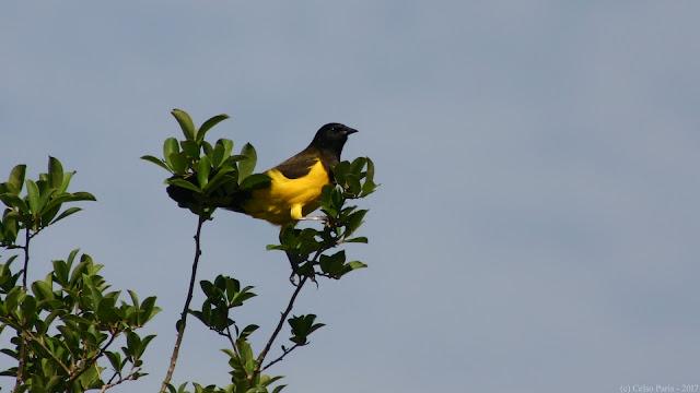 Pseudoleistes guirahuro Yellow-rumped Marshbird Chopim-do-brejo Turpial de Lomo Amarillo