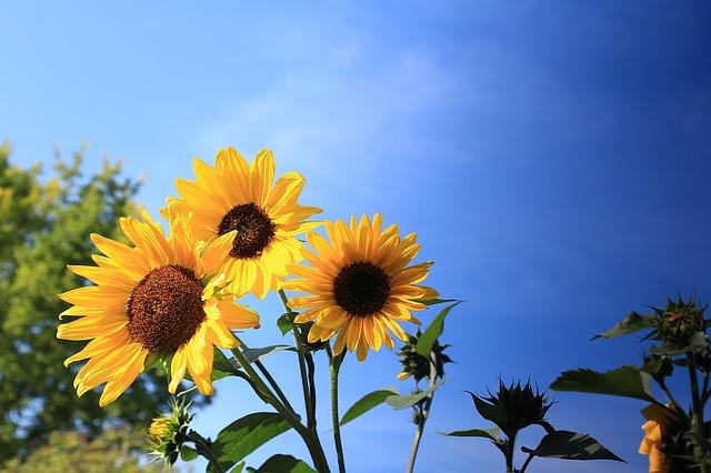 hoa hướng dương tượng trưng cho điều gì