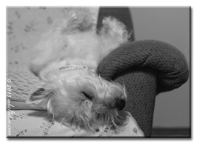 Westie asleep on his back