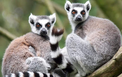 Lemur - animals beginning with letter L