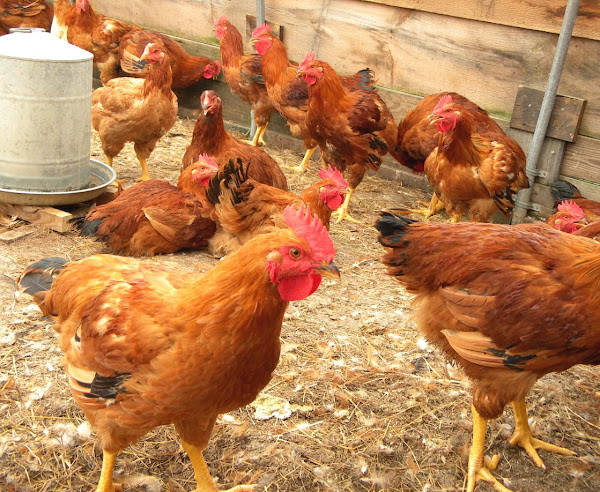 poultry farming, poultry farming for beginners, poultry farming for beginners guide, how to start poultry farming