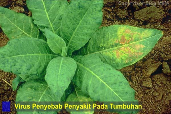 macam-macam atau jenis-jenis virus yang menyebabkan penyakit pada tumbuhan atau tanaman
