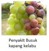 Penyakit-Penyakit Penting Yang Ada Pada Tanaman Anggur Dan Pengendaliannya