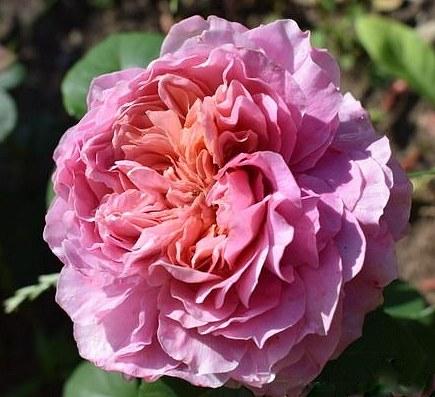 Eisvogel rose