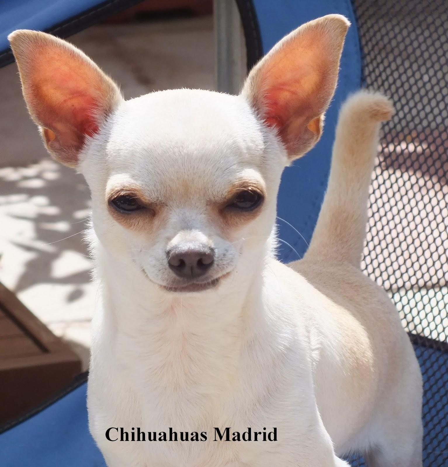 Why Are Chihuahuas Aggressive? - The Chihuahua Life