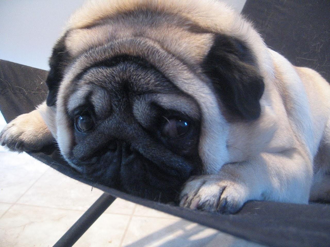 Grace Elliot - blog.: Pug Dogs and Things Pugnacious