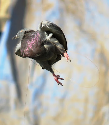 Pigeon hanging on manjha