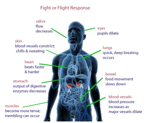 Aqa A Level Biopsychology Fight Or Flight Repsonse