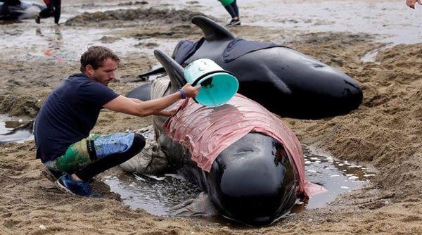 Mueren 350 ballenas de las 650 varadas en Nueva Zelanda
