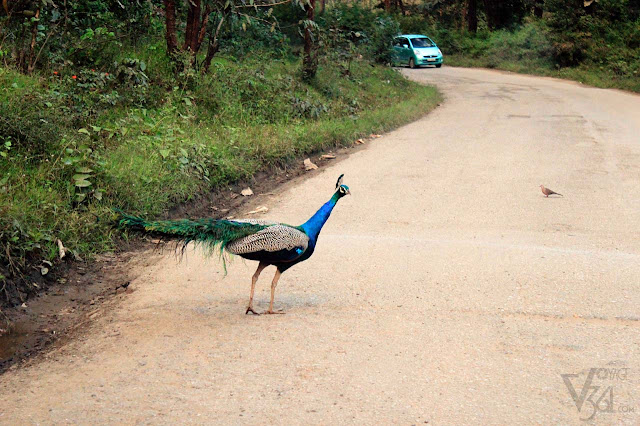 Peacock at Bandipur Mudumalai
