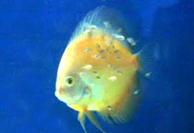 Tahap terakhir anakan ikan discus menetas