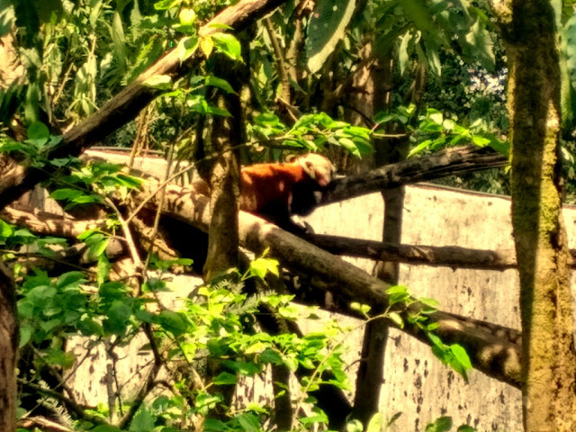 Red Panda at Padmaja Naidu Himalayan Zoological Park