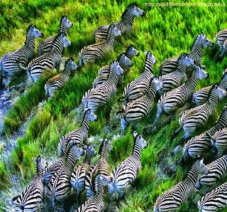 zebra in india