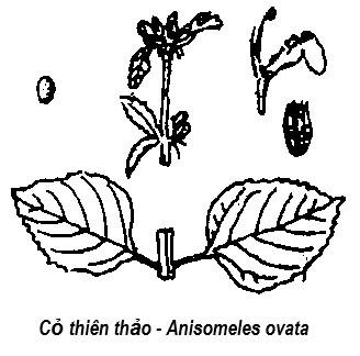 Cỏ thiên thảo - Anisomeles ovata - THÔNG TIỂU TIỆN VÀ THÔNG MẬT