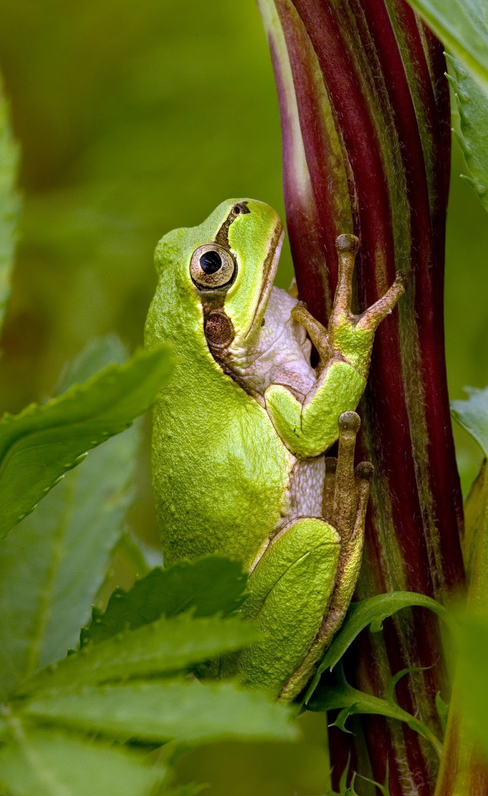 Picture of a Japanese tree frog.