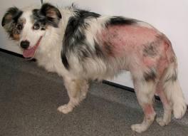 veterinaria online dermatitis canina