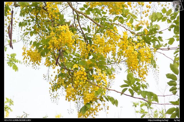 2016-05-25南投中興新村-五百戶阿勃勒
