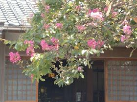 補陀洛寺のサルスベリ
