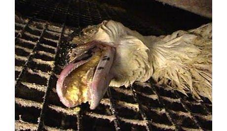 Dode gans gevoed met een trechter, gestikt in de overdaad aan voedsel