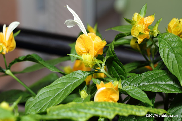 Justicia Brandegeeana - Golden Shrimp plant foliage and flowers