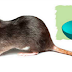 3 Effective Home Methods To Get Rid Of Rats Once And For All