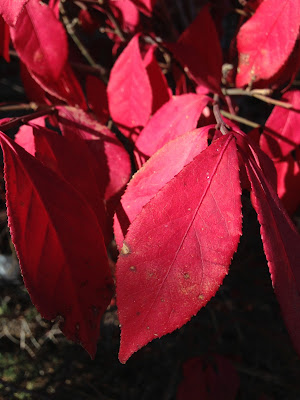 Close up of Euonymus alatus displaying red autumn leaf colour