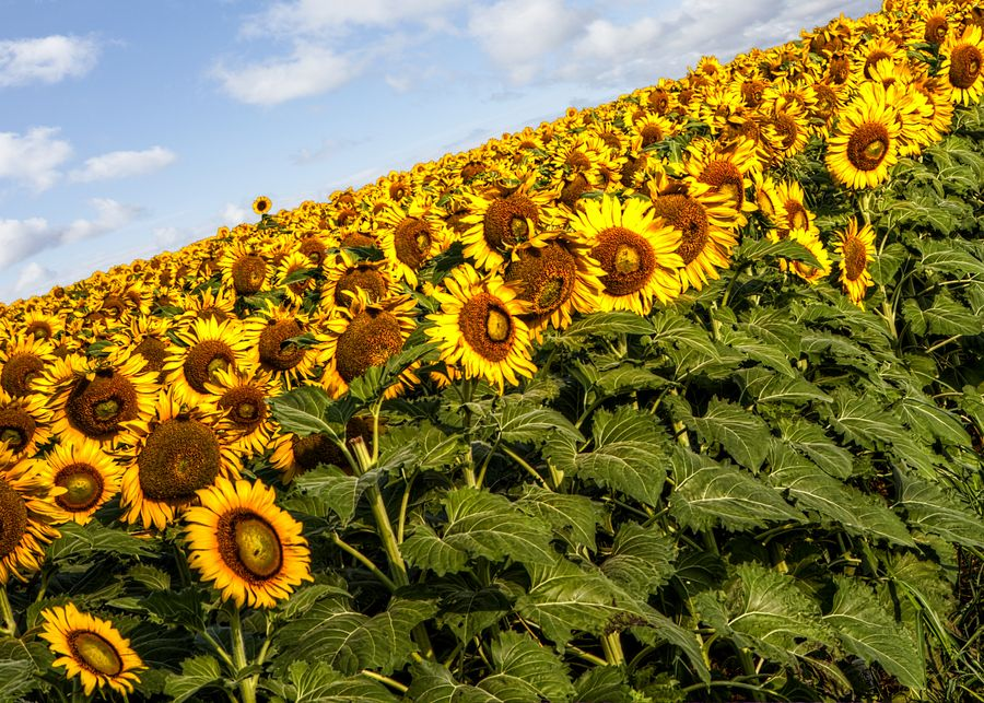 15. Sunflowers by Donnie Nunley