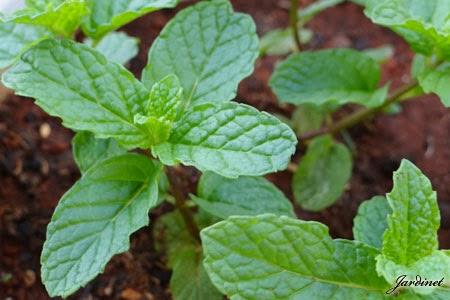 Hortelã orgânica cultivada em vasos e canteiros