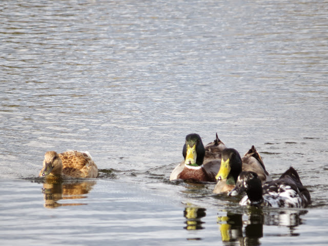 Bay Area Birds: Mallard ducks at the Palo Alto Baylands