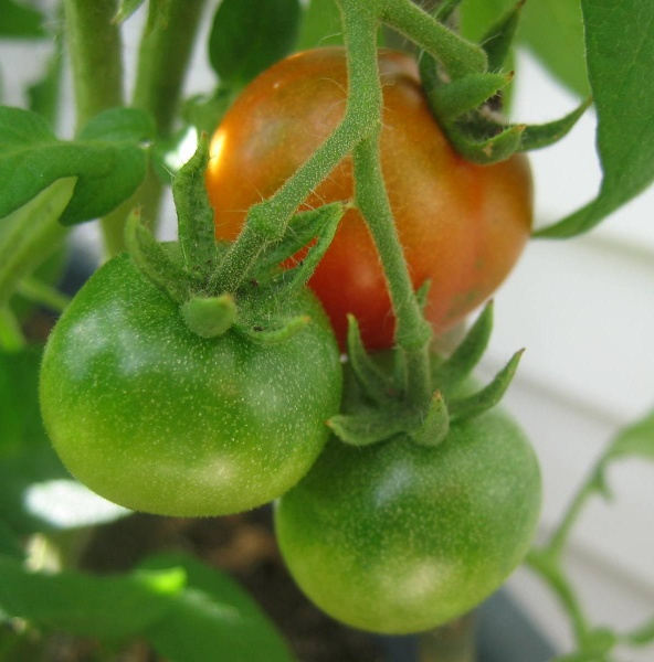 HIGH COUNTRY GARDENER: THE ANSWER MAN: Growing Tomatoes