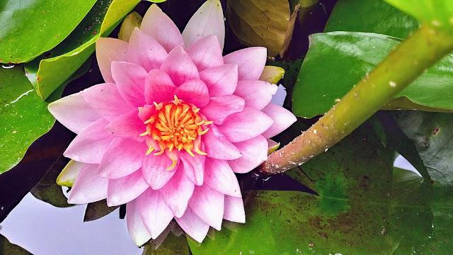 Inilah 8 Tumbuhan yang Hidup di Air Beserta Gambarnya