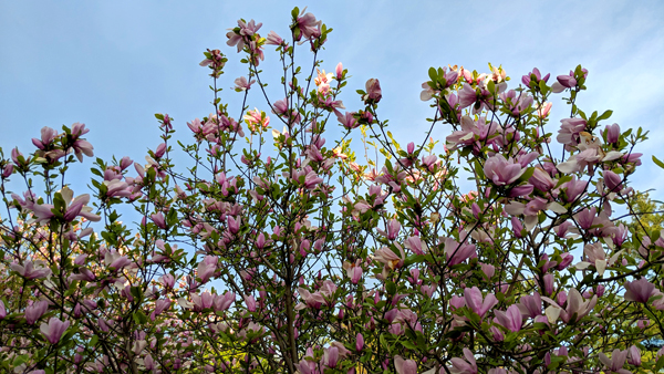 image of pink blossoms on a tree against a bright blue sky
