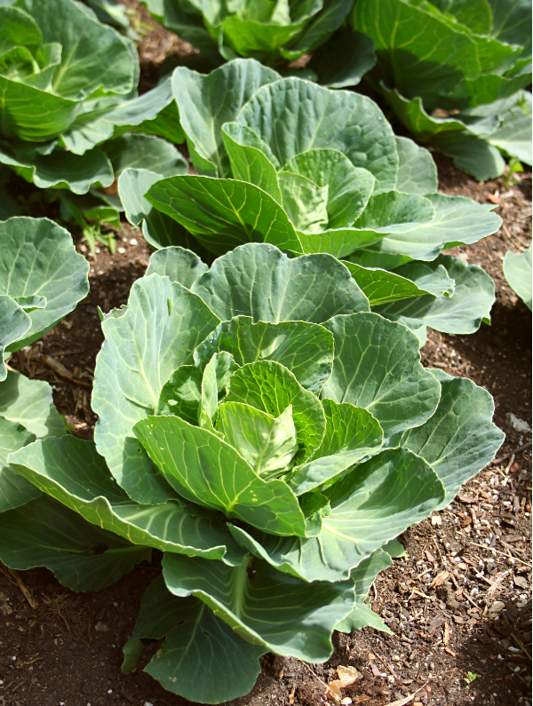Fall Vegetable Garden Cabbage