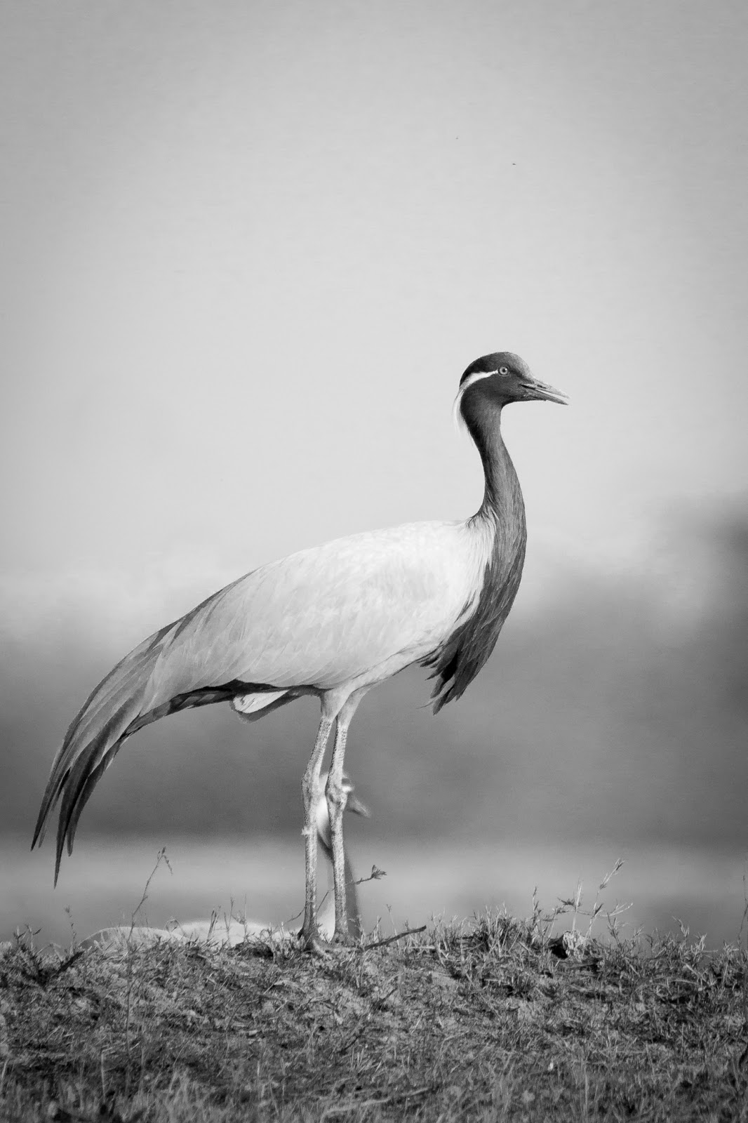 I Hope This Crane Is Just Hiding Other >> Koonj The Demoiselle Cranes Visual Journeys