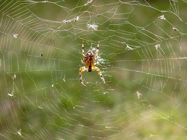 spindel, spider