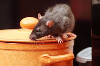 Mouse on kitchen pot trying to find food.